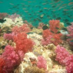 Lots of Coral at Phuket